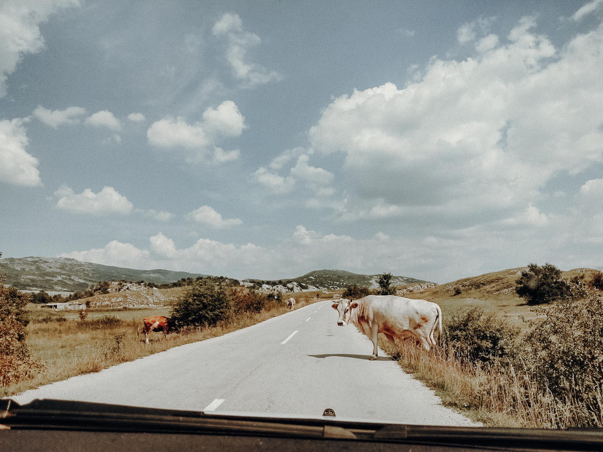 Die Straßen in Bosnien. Kühe auf der Straße. Roadtrip durch Bosnien Montenegro Kroatien. Am Balkan vegan essen, reisen, fahren, packen. Dogdays of Summer vegan vintage Blog